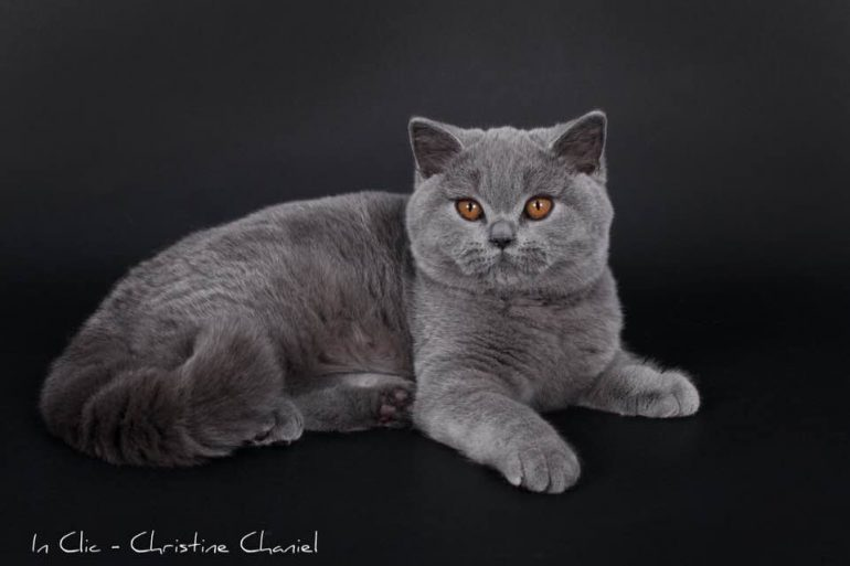 Octavie British Shorthair bleue